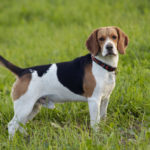 How Do I Know If My Beagle Is Purebred?
