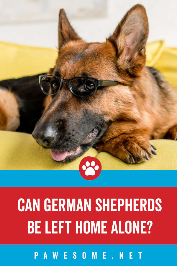 Can German Shepherds Be Left Home Alone?