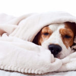 Why Do Dogs Burrow in Blankets?