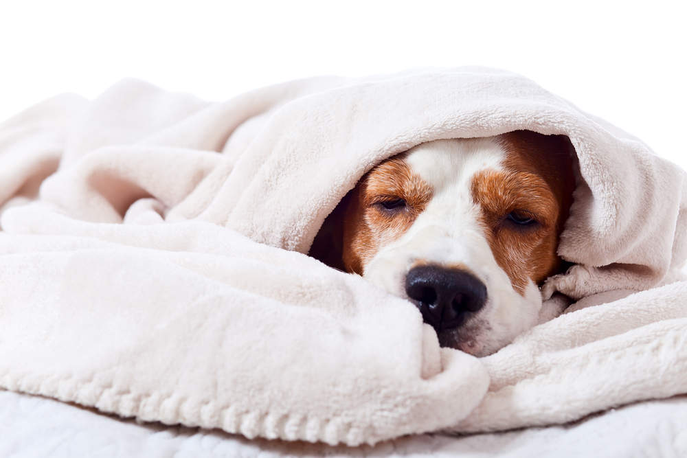 Dog burrowed in a blanket