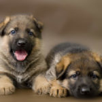 When Do German Shepherds Stop Growing?