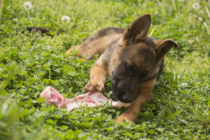 German Shepherd puppy with one ear fully up eating