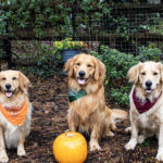 Can Golden Retrievers Be Aggressive?