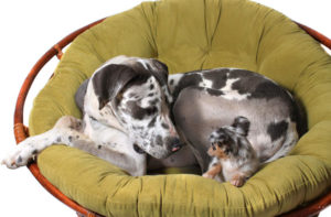 Great Dane with Chihuahua sitting in chair