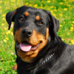 Are Rottweilers Easy to Train?