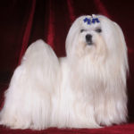 Are Maltese Dogs Expensive?