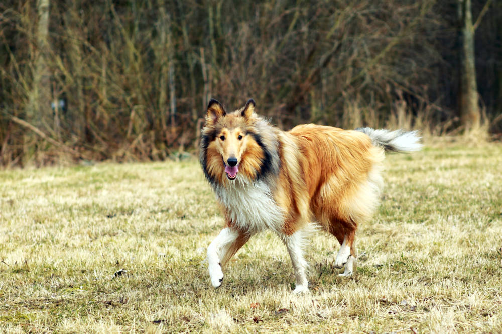 Collie out in a field