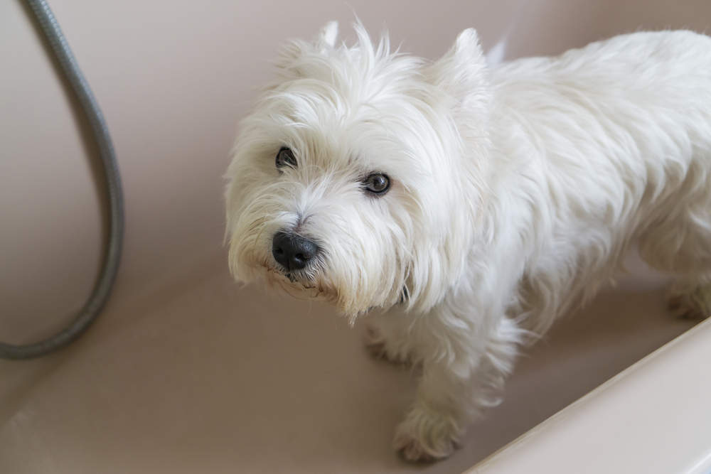 Westie during bath time