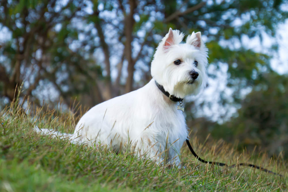 Westie sitting outside on leash
