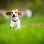 Beagle running fast in a field