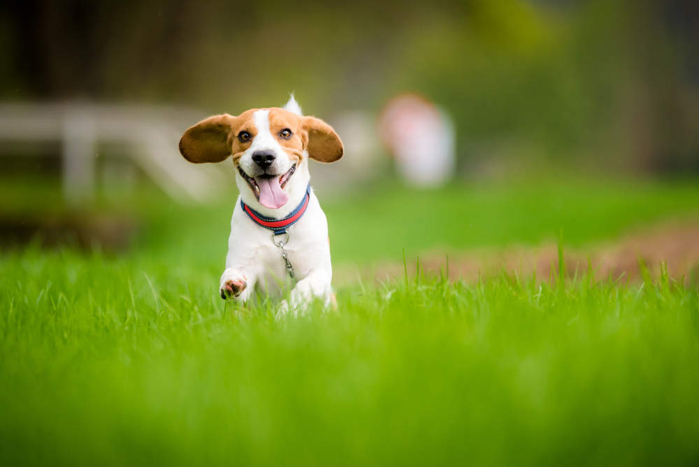 Beagle running fast in the field