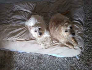 Cairn and Westie laying on bed