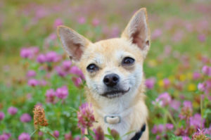 Chihuahua smiling in field