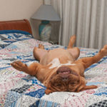 Funny dog acting weird on bed