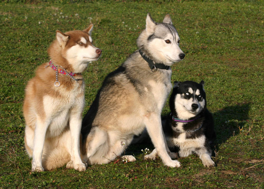 Full grown funny Huskies posing for a picture