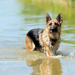 German Shepherd swimming in water
