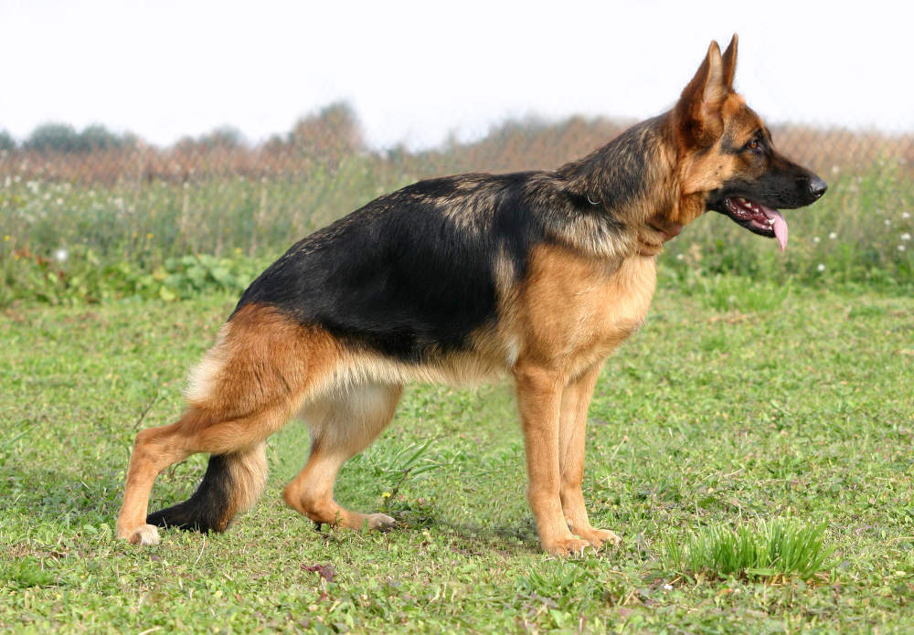 German Shepherd ready for commands during training