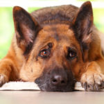 Are German Shepherds Prone to Bloat?