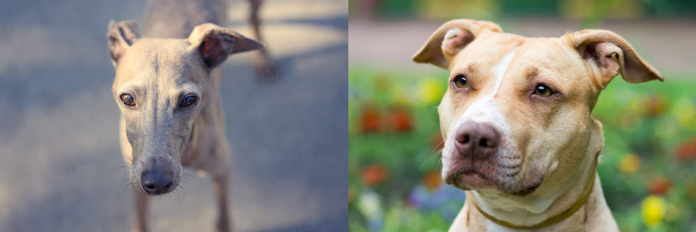 Greyhound (on the left) and American Pit Bull Terrier (on the right)