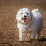 Maltese Dog Breed Profile: History, Care, Temperament and More