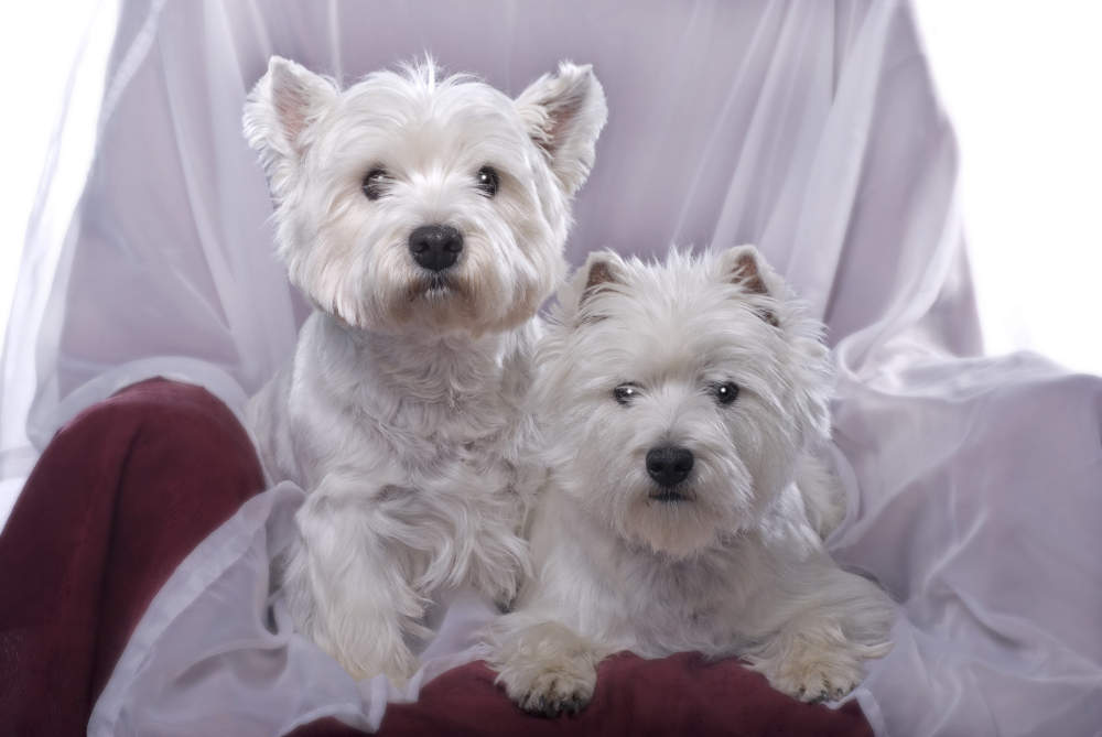 Happy Westie pair posing for a picture in a chair