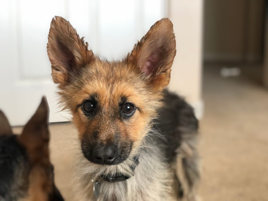 Ranger the German Shepherd with Dwarfism