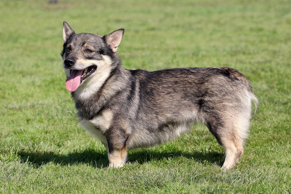 Swedish Vallhund posing with tongue out