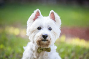 Westie outside posing for picture wearing a bowtie