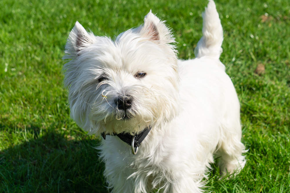 West Highland White Terrier posing for a picture standing in grass