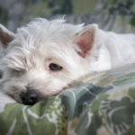 Can You Leave a Westie Home Alone?