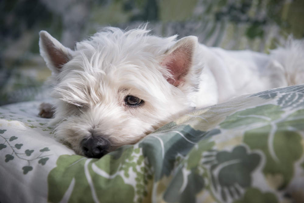 Westie sad because it is home alone