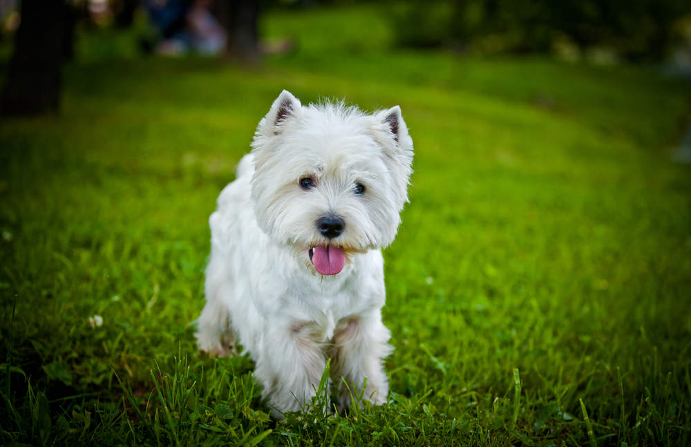 Well groomed Westie posing for picture in a field with tongue out