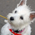 Do Westies Bark a Lot?