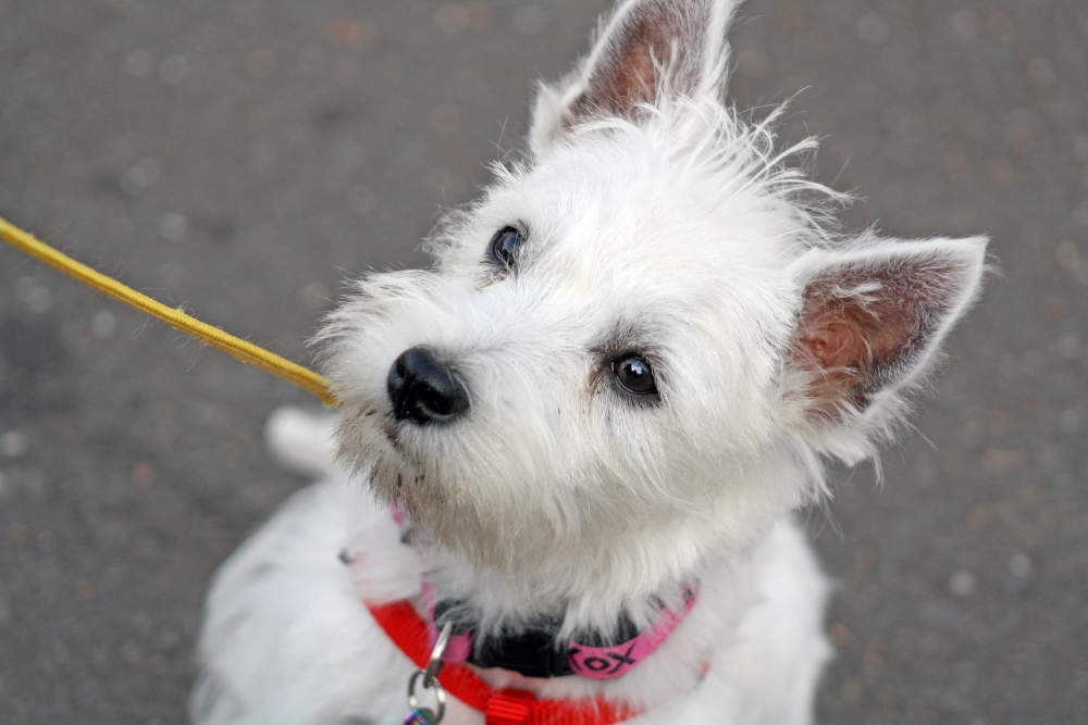 Westie on leash looking up at owner