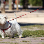 Westie wearing a dog harness