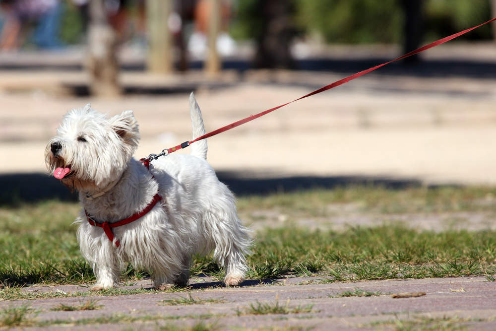 Westie with a harness and leash