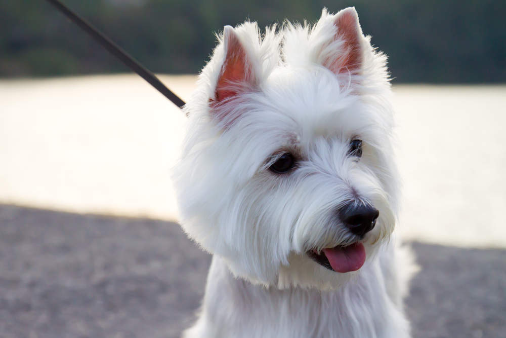Westie on leash smiling