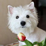 How Much Do Westies Cost?