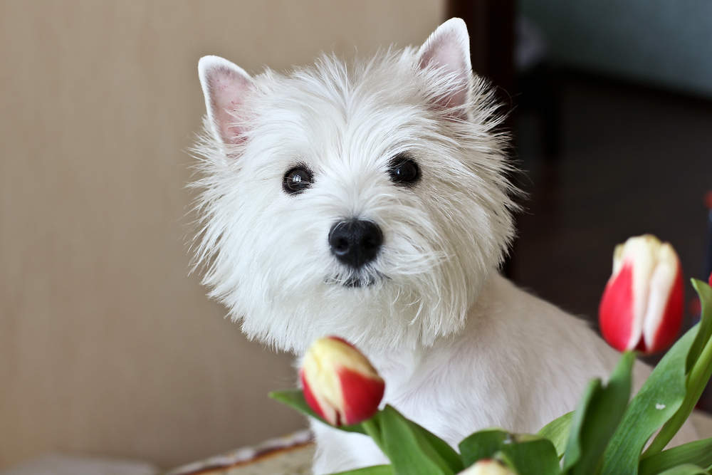 Westie posing with flowers