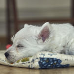 When, Where and How Long Do Westies Sleep Per Day?