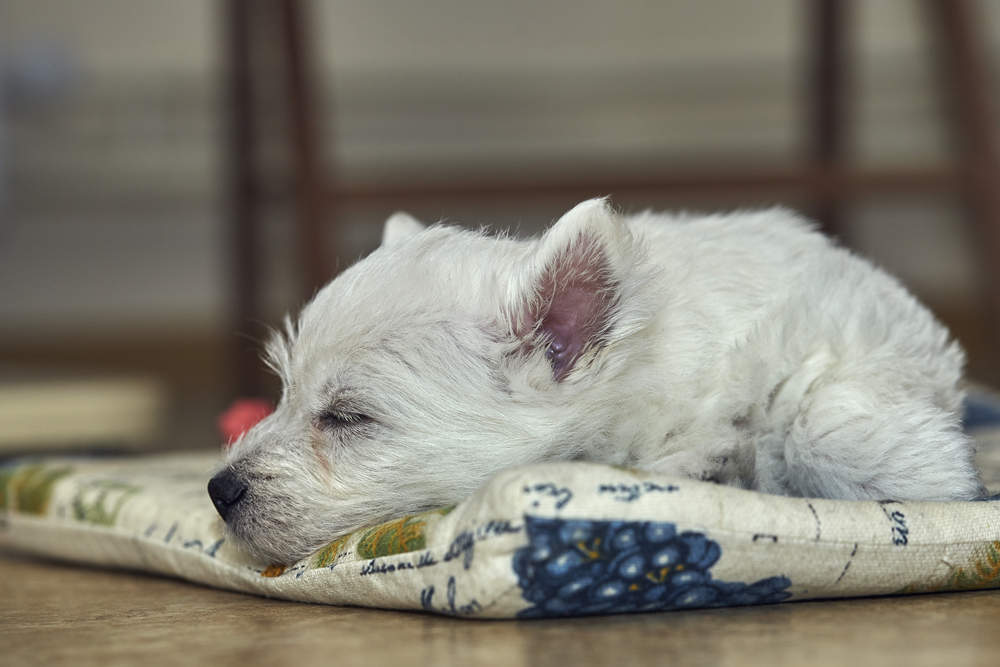 Westie puppy sleeping on his bed