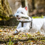 Are Westies Easy to Train?