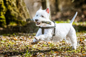 Westie being trained in the park with a big stick