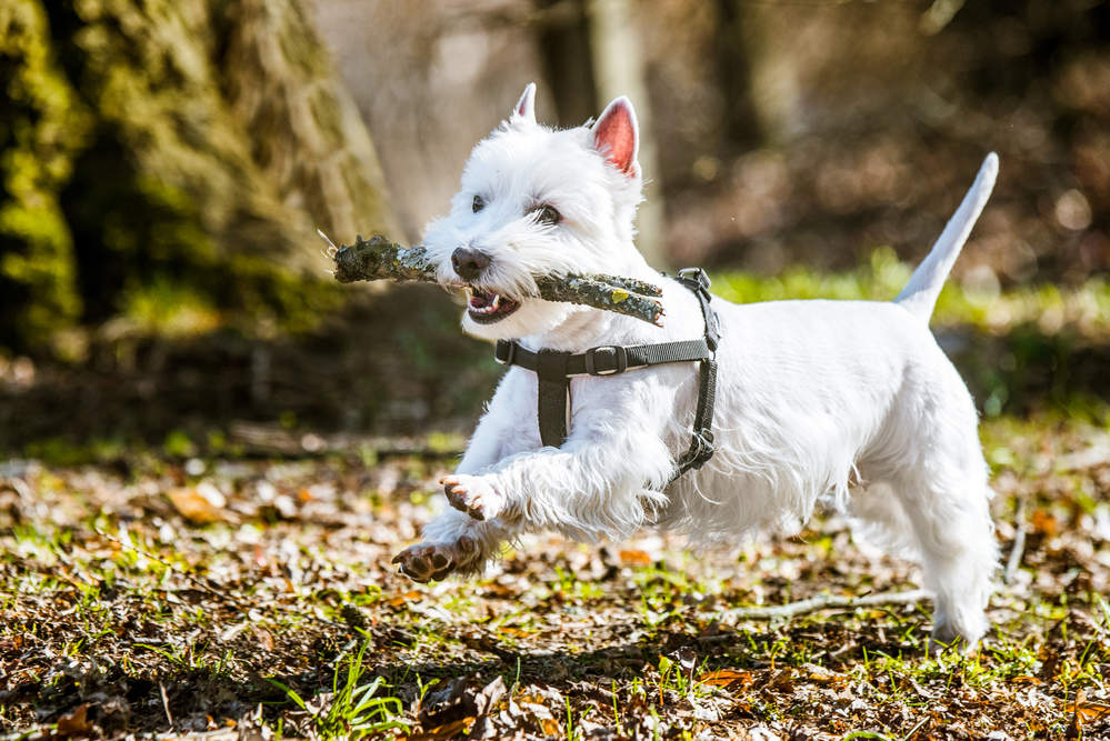 Westie being trained at the park with big stick in it's mouth.