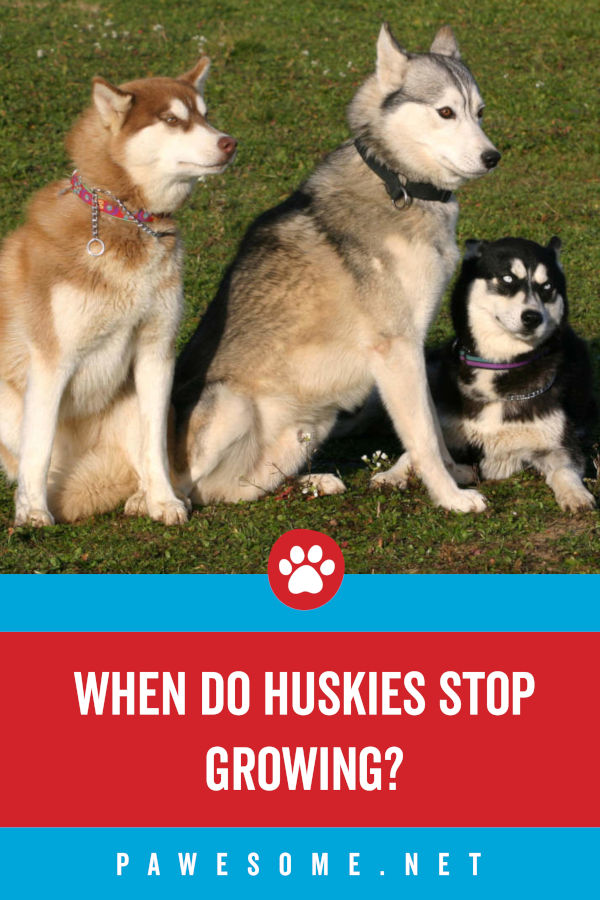 When Do Huskies Stop Growing?