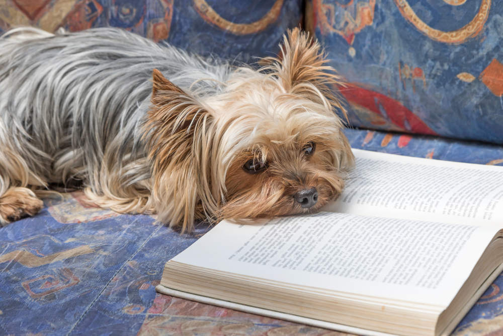 Yorkie reading a book