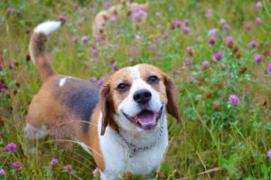 Beagle playing in the field