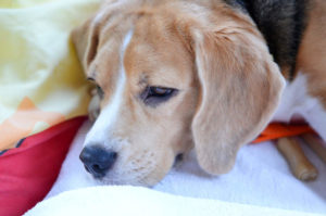 Beagle resting on pillow