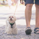 Best Harness for Maltese: Top Picks, Buying Guide with Tips & Reviews