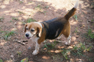 Pregnant beagle going on a short walk in the woods